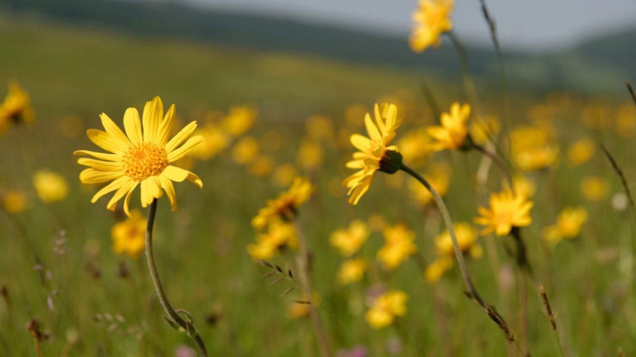 De Arnica Massage is gebaseerd op de arnica bloem