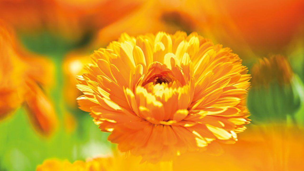 Calendula bloem